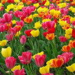 colourful-tulips