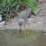 common-redshank-reflection