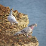 pigeon-looking-over-cliff