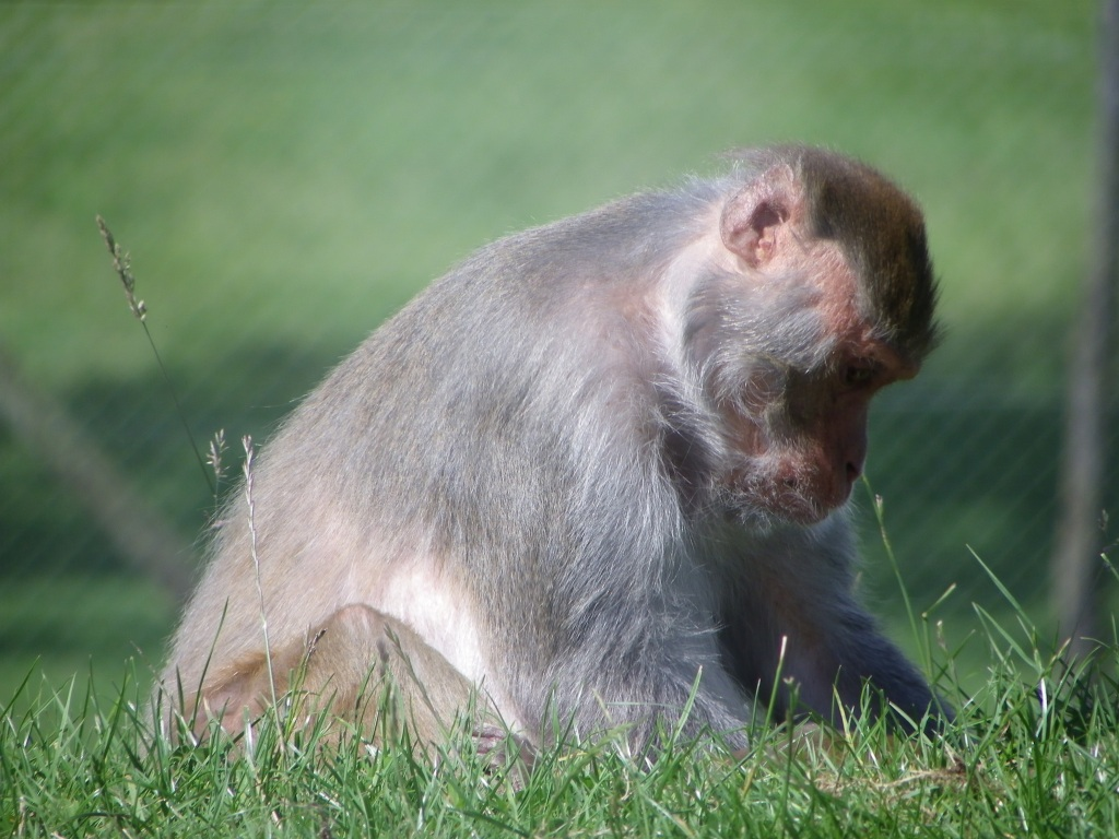 rhesus-monkey-thinking