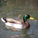 swimming-duck