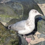 Seagull-Between-Rocks