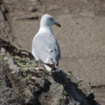 Seagull-Perched-On-Rock