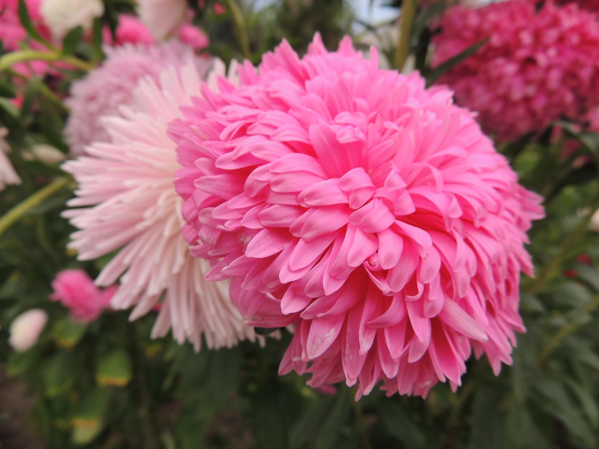 Eden Project Pink Flowers Kelvin Peach Photography