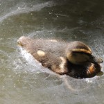 Tiverton Canal Duckling Swimming