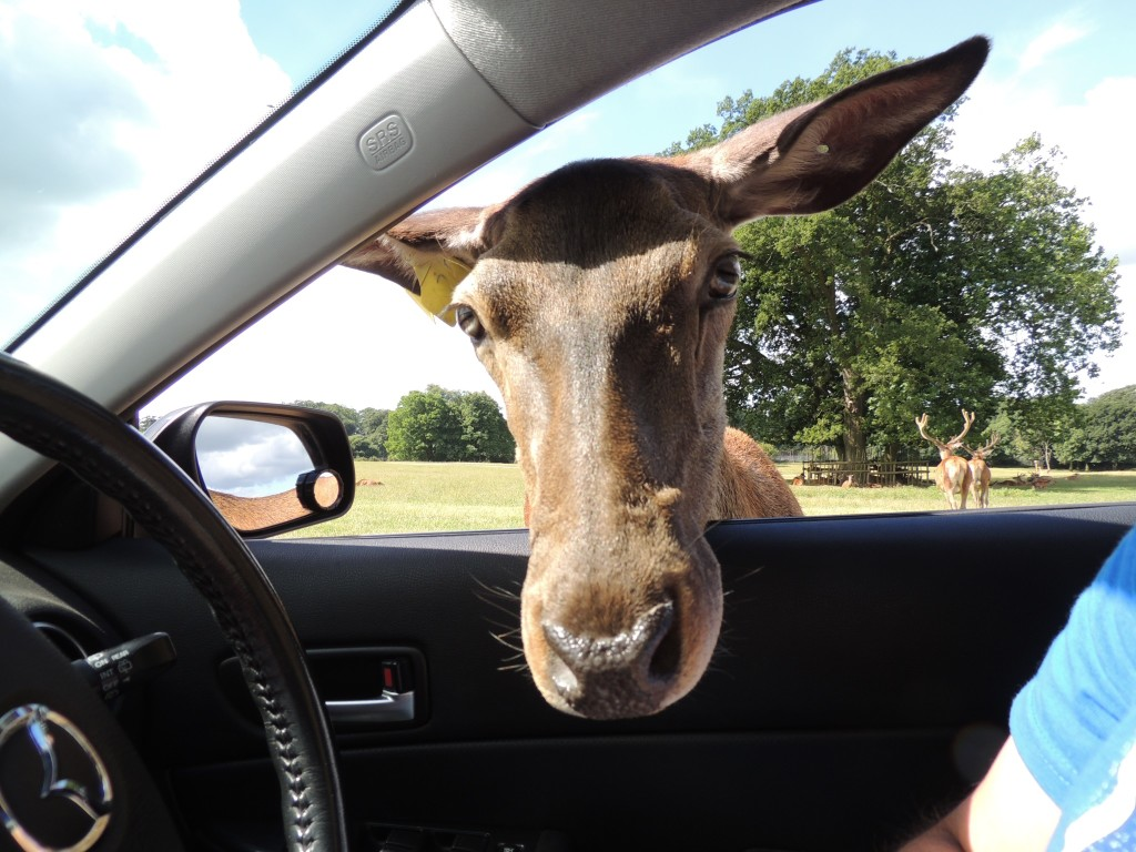 Deer In Car