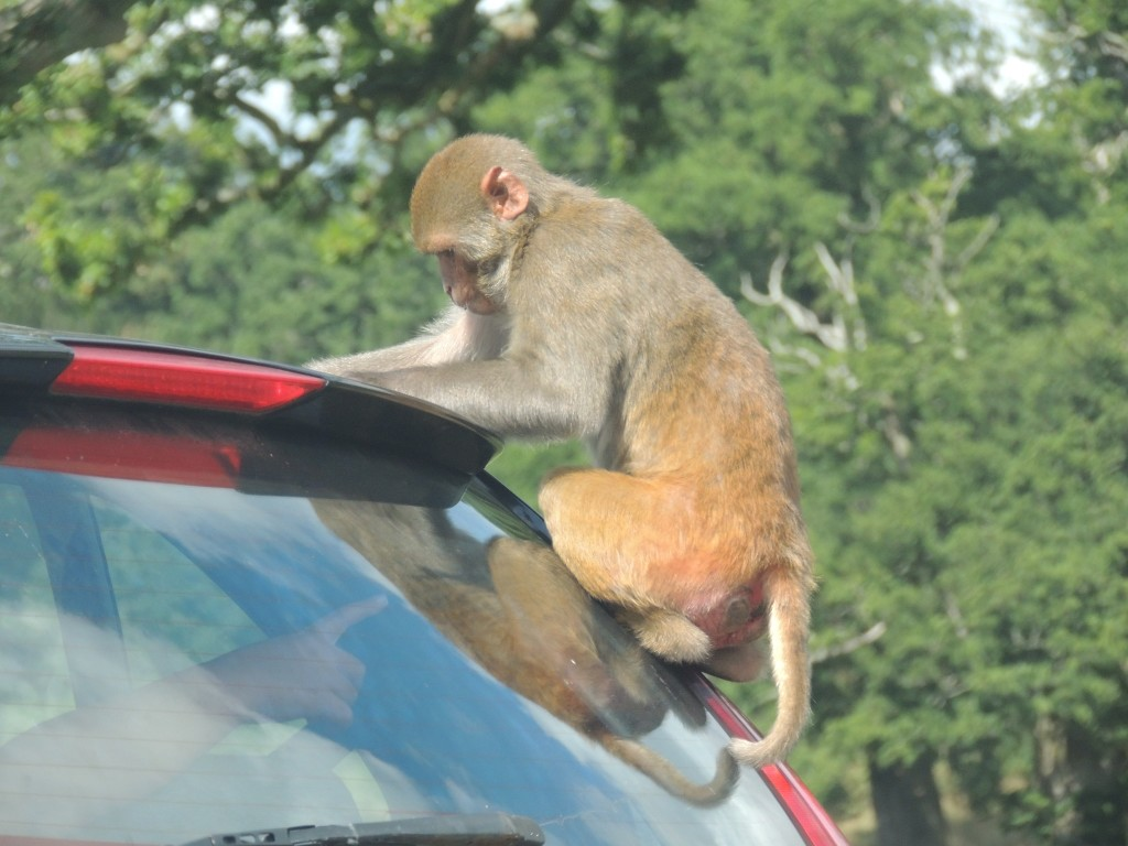 Longleat Monkey on Back of Car