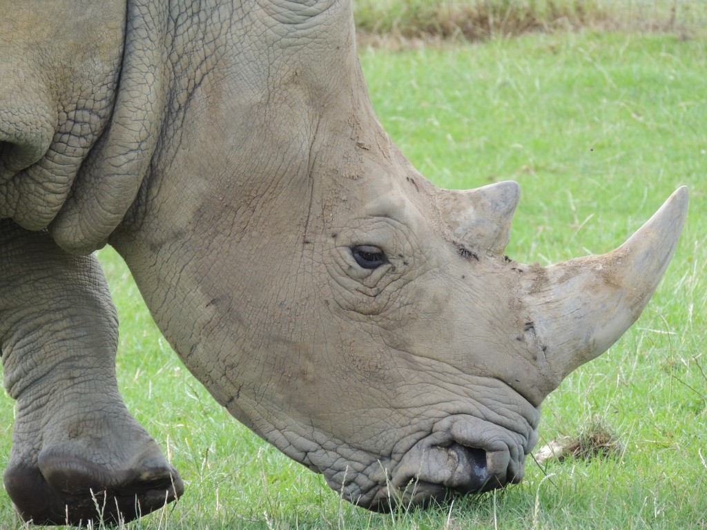 Longleat Rhino Close Up